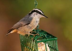 Bird Feeder Suet Recipe