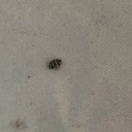 Little Black Bugs On Kitchen Floor And Carpet