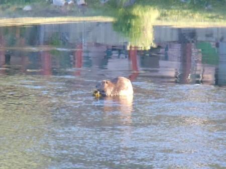 Beaver eating breakfast on the river