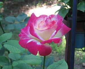 Double Delight Tea Roses