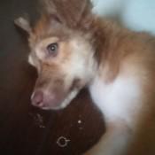 closeup of light brown puppy