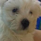 fuzzy white puppy