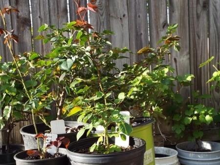 Rooting A Single Rose Leaf