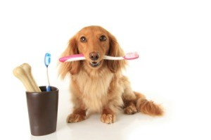 Long Haired Dachshund holding a toothbrush in his mouth