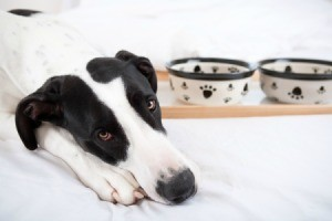 Sad looking Great Dane rests heads on paws with food dishes in the background