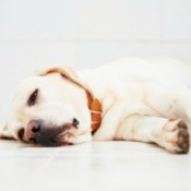 Sick yellow lab isolated on white