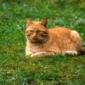 Red tabby laying on lawn that has a lot of moss