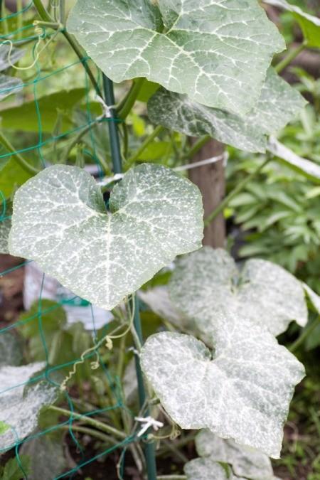 powdery mildew on plant leaves