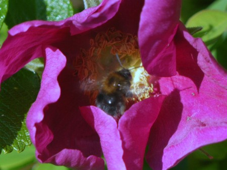 Bumble Bee and Rosa Rugosa