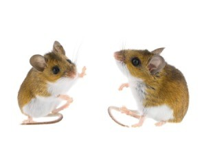 Two deer mice isolated on white