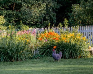 Chicken walking along side a flower bed
