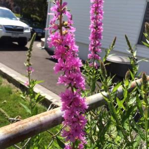 invasive weed in flower garden