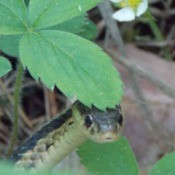 Garter snake peeking out from under a strawberry plant leaf