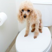 Poodle standing on top of a closed toilet