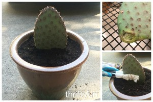 Rooting a Cactus Pad