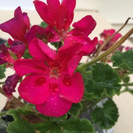 dark pinkish red geranium