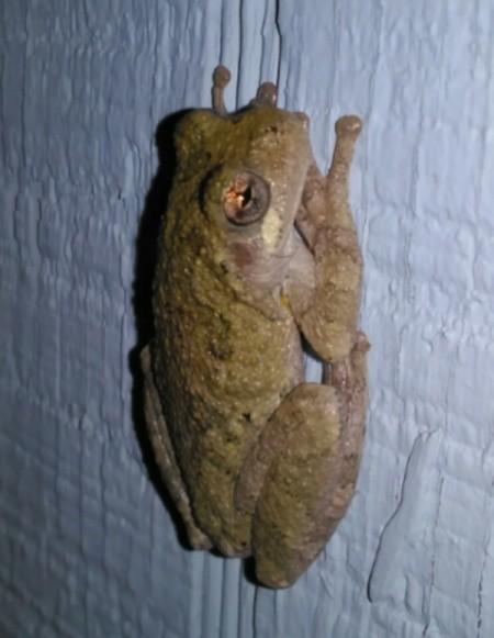 Spring Peeper Frog Rendezvous
