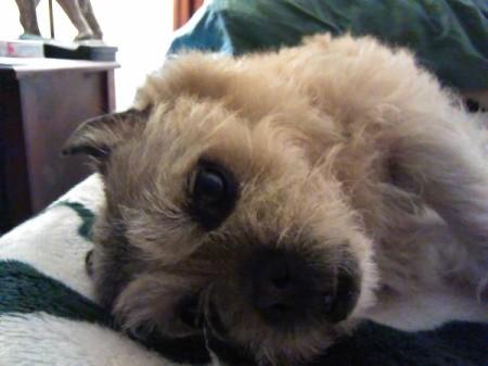 Wednesday (Pug/Wheaten Terrier)