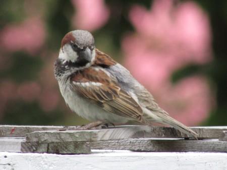 A sparrow in the backyard.