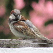 A sparrow in the backyard.