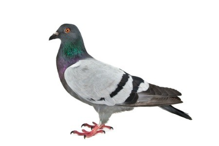 Pigeon on a white background