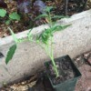 Start Tomato Plants from Stems