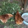 chickens munching dandelions