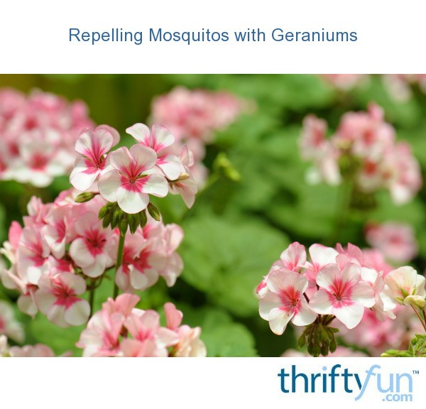 Repelling Mosquitos With Geraniums Thriftyfun