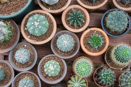 Several small potted cactus plants