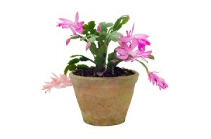 Christmas Cactus on white background