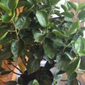 medium green foliage plant with upright stems