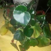 round leafed houseplant