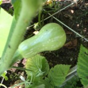 developing butternut squash