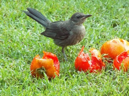 catbird with tomatoes