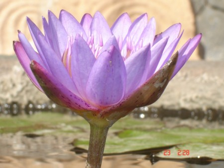 closeup of a lovely lavender lotus flower