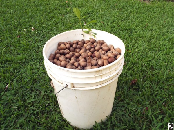 two pecan tree sprouts in a pail of nuts