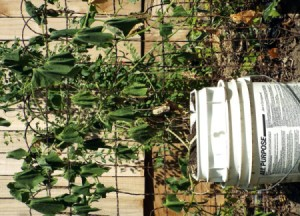 droopy vine growing in 5 gallon bucket
