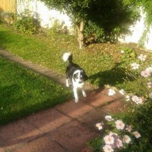 black and white dog on garden walkway