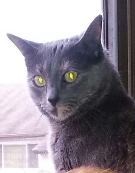 dark gray or black cat
