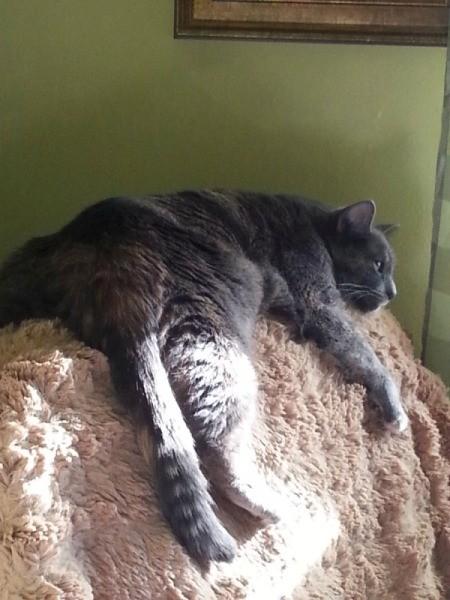 Streatz (Mixed Breed Cat)
