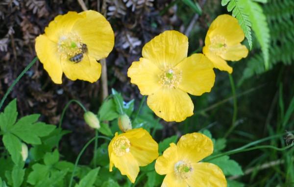 Welsh poppy photos meconopsis cambrica thriftyfun yellow poppies mightylinksfo