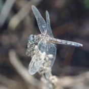 beautiful closeup of a dragonfly
