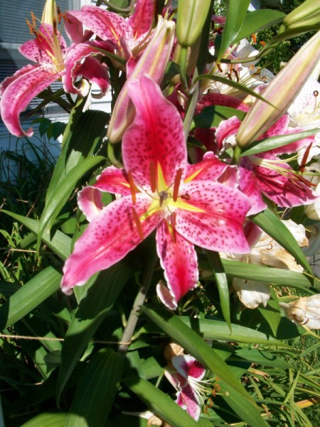 Dad's Lilies