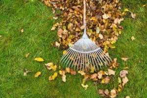 Fall Leaves on lawn being raked into a pile