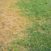 Lawn with dead grass