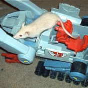 Matthias a white rat on a toy tank