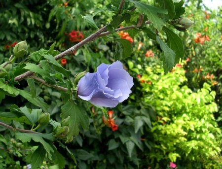 Purple Rose of Sharon blossom