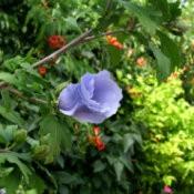 Purple Rose of Sharon blossom