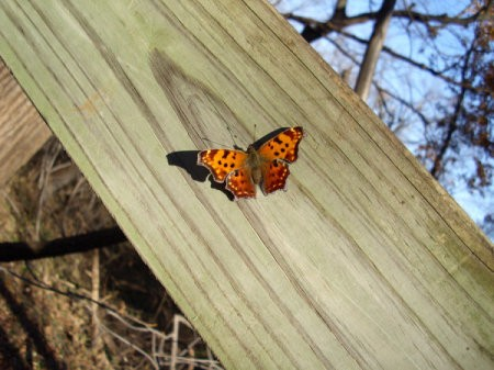 An orange and brown butterfly.