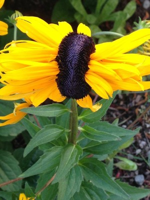 Co-joined Rudbeckia Flower